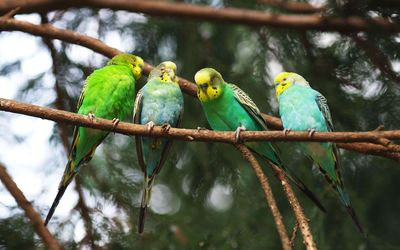 Green parrots on the branch wallpaper