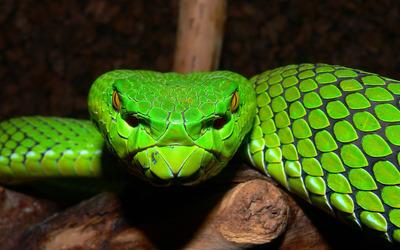 Green Pit Viper Wallpaper Animal Wallpapers 27610