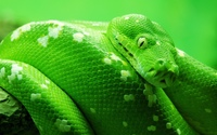 Green snake wallpaper 1920x1200 jpg