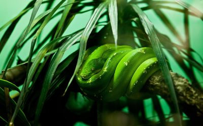 Green snake [2] wallpaper