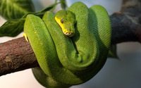 Green Tree Python wallpaper 1920x1080 jpg