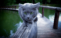 Grey cat wallpaper 2560x1600 jpg