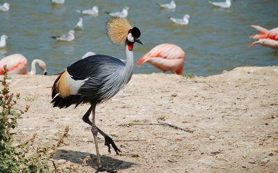 Grey crowned crane by the lake wallpaper