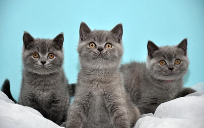 Grey kittens wallpaper