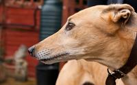 Greyhound wallpaper 1920x1200 jpg