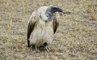 Griffon vulture wallpaper 2560x1600 jpg