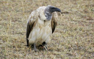 Griffon vulture wallpaper
