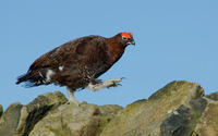 Grouse wallpaper 1920x1200 jpg