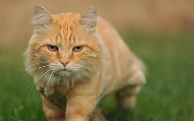Grumpy orange cat in the grass wallpaper