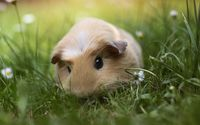 Guinea pig wallpaper 1920x1200 jpg