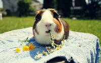 Guinea pig eating daisies wallpaper 1920x1200 jpg