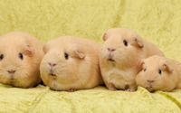 Guinea pigs wallpaper 2560x1600 jpg