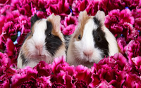 Guinea pigs [2] wallpaper 1920x1200 jpg