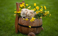 Guinea pigs in a barrel wallpaper 2560x1600 jpg