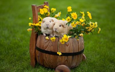 Guinea pigs in a barrel wallpaper