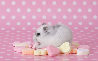 Hamster eating candy wallpaper