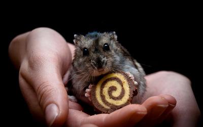 Hamster eating cookie wallpaper