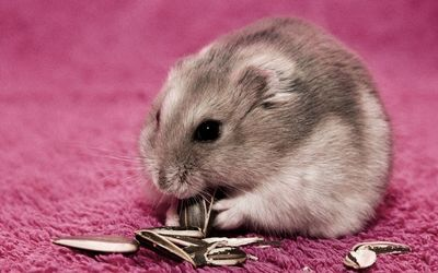 Hamster eating sunflower seeds wallpaper