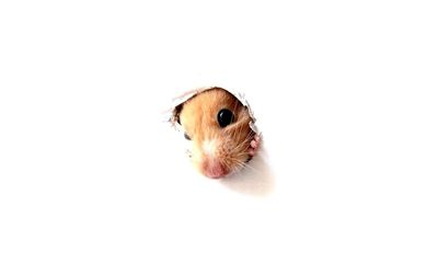 Hamster through the hole wallpaper