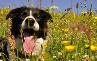 Happy Border Collie wallpaper 2560x1600 jpg