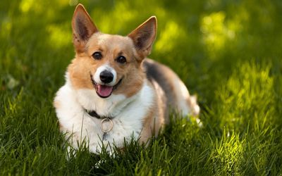 Happy Corgi resting in the grass wallpaper