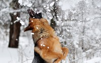 Happy german shepherd in the snow wallpaper 1920x1200 jpg