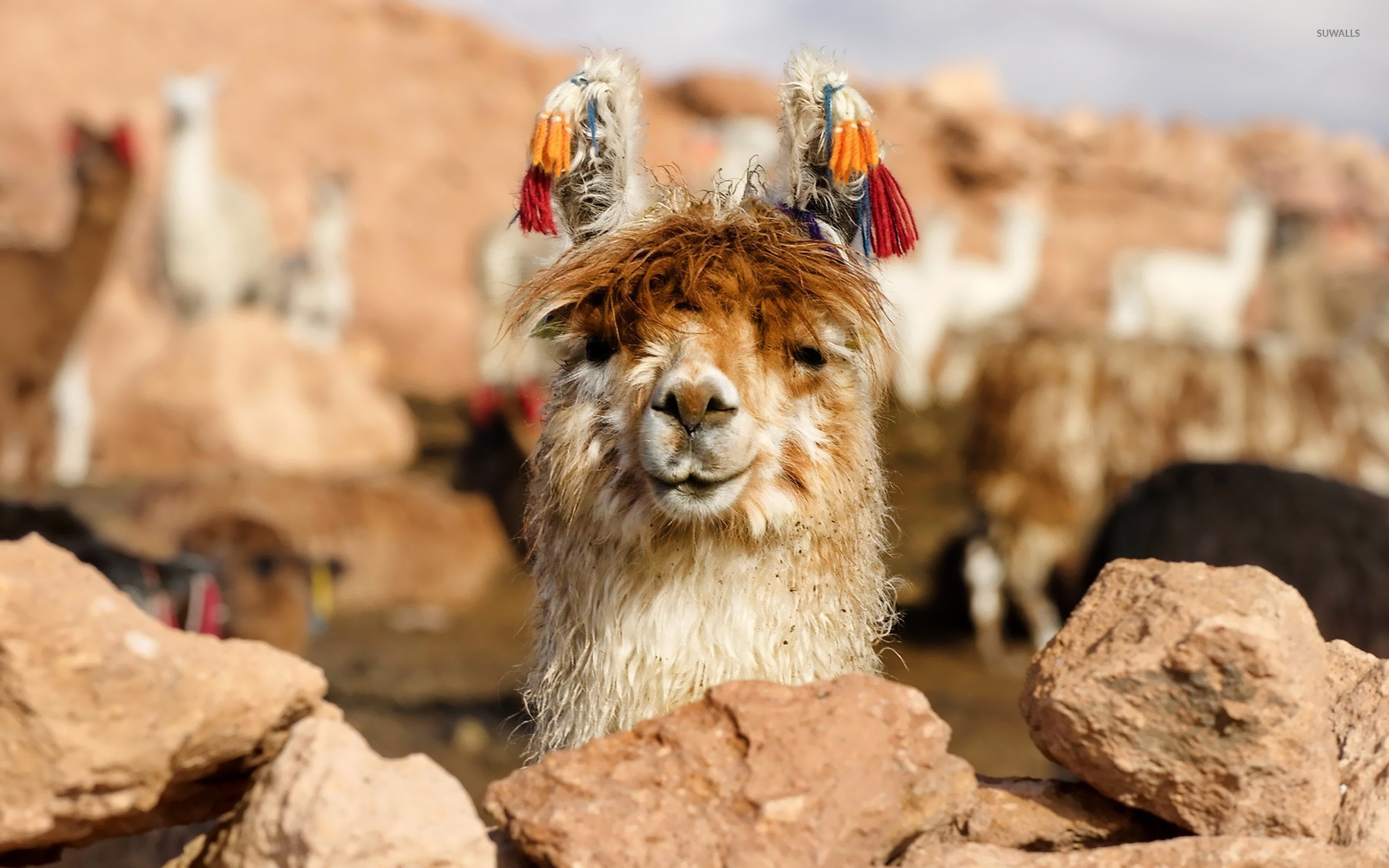 happy lama wallpaper - animal wallpapers - #25701