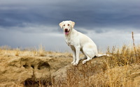 Happy white Golden Retriever wallpaper 1920x1200 jpg