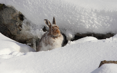 Hare in snow wallpaper