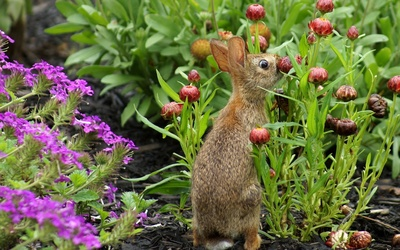 Hare sniffing a flower wallpaper