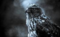 Hawk wallpaper 2560x1600 jpg
