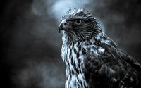 Hawk wallpaper 2560x1600 jpg
