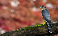 Hawk on a mossy tree log wallpaper 1920x1200 jpg