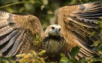 Hawk with its wings spread wallpaper 1920x1200 jpg