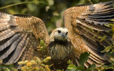 Hawk with its wings spread wallpaper