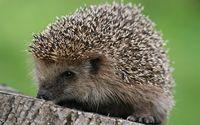 Hedgehog wallpaper 2560x1600 jpg