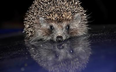 Hedgehog [5] wallpaper