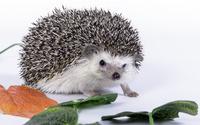 Hedgehog [2] wallpaper 1920x1200 jpg