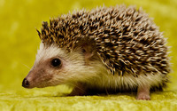 Hedgehog [3] wallpaper 1920x1200 jpg
