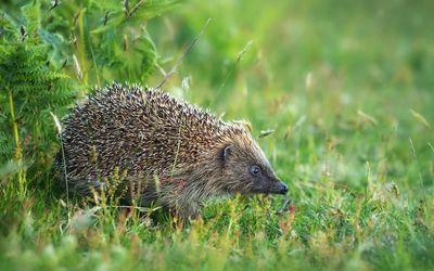 Hedgehog [8] wallpaper