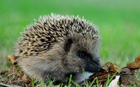 Hedgehog in the grass wallpaper 2560x1600 jpg