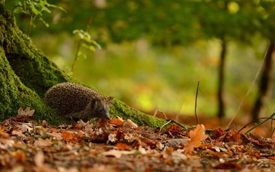 Hedgehog in the leaves wallpaper