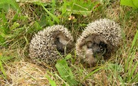 Hedgehogs wallpaper 1920x1200 jpg