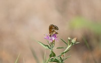 High brown fritillary in the sunlight wallpaper 3840x2160 jpg