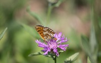 High brown fritillary on a flower wallpaper 2880x1800 jpg