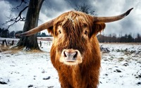 Highland cattle wallpaper 1920x1200 jpg