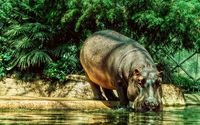 Hippo drinking water wallpaper 1920x1080 jpg