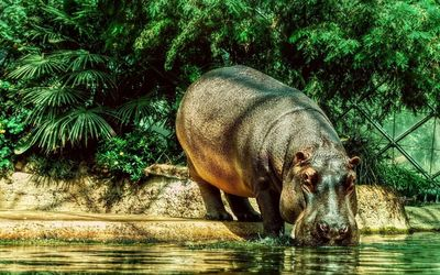 Hippo drinking water wallpaper