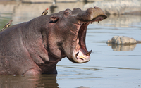 Hippo in water wallpaper 1920x1200 jpg