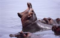 Hippopotamuses wallpaper 1920x1200 jpg